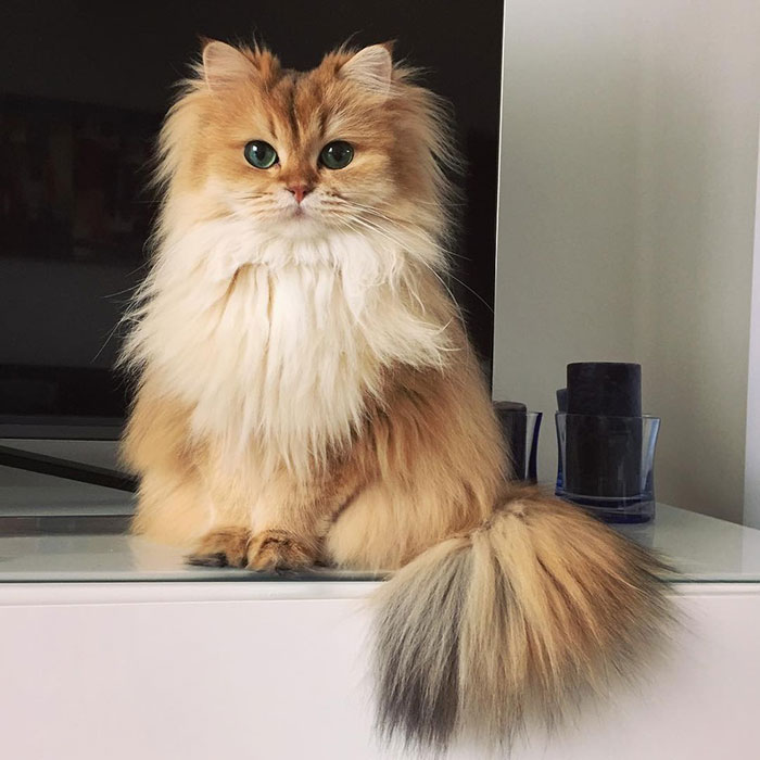 Smoothie a British Longhair