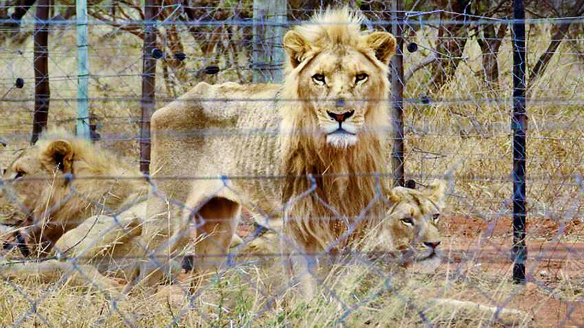Starving captive lions on breeding farm