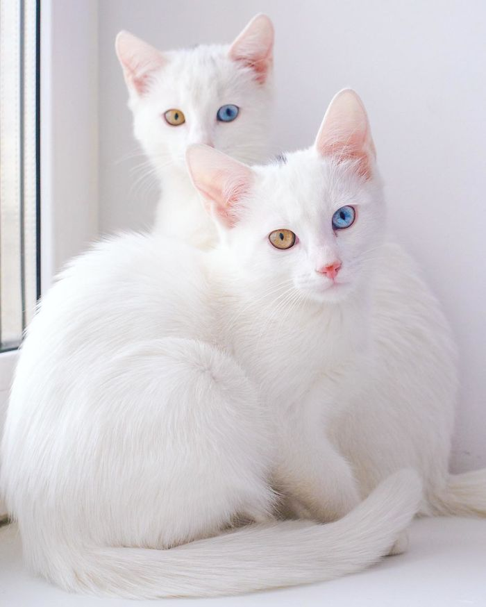 all white odd-eyed cats