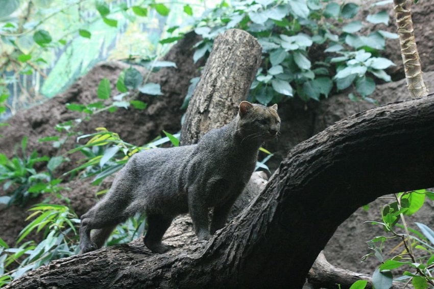 Jaguarundi in its biome