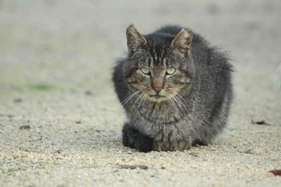 Feral cat of Silicon Valley