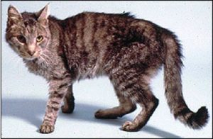 Hyperthyroidism - a cat showing symtoms