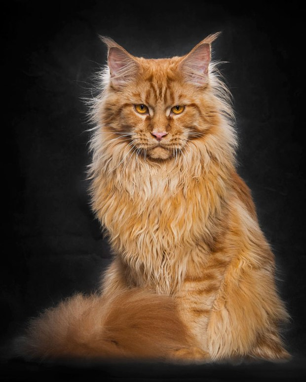 Maine Coon. Photo: by Robert Sijka