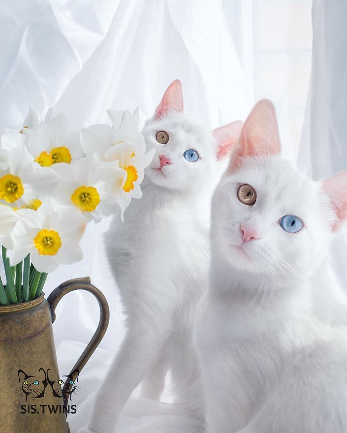 Odd-eye color all-white cats