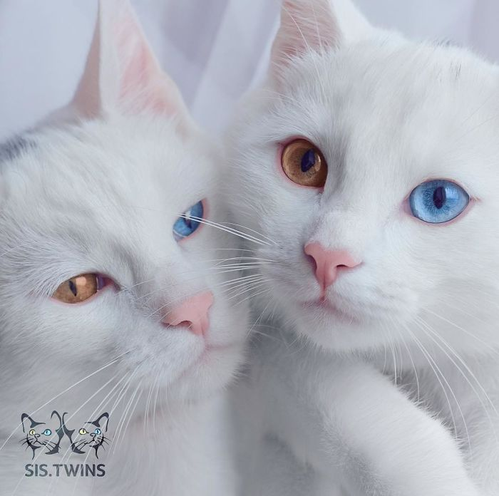 Odd-eye color cats