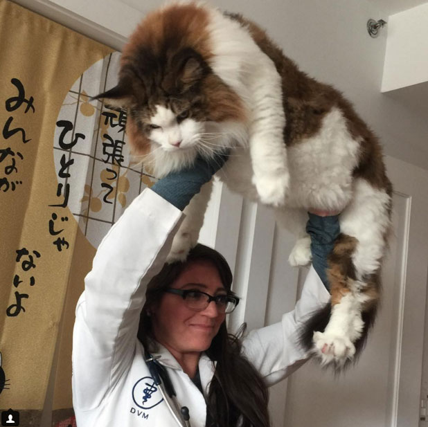 Samson a very large Maine Coon in NY