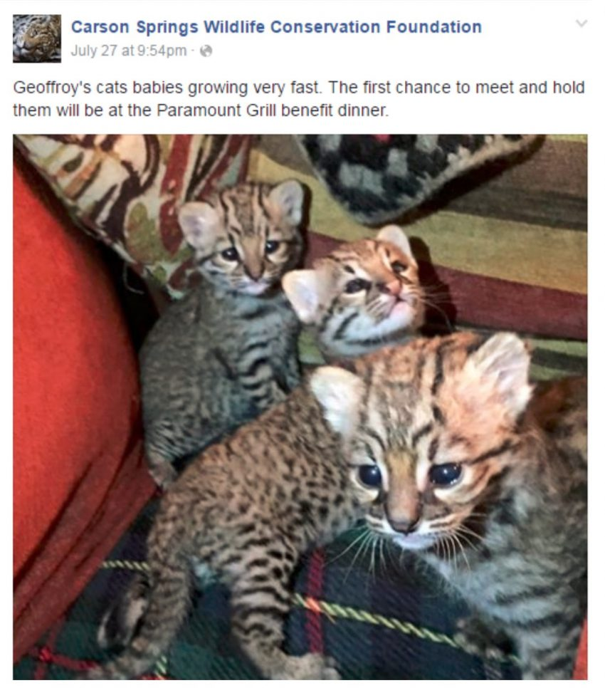 Geoffroy's kittens at Carson Springs Wildlife Foundation
