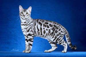 Bengal cat - most active with other wild cat hybrids