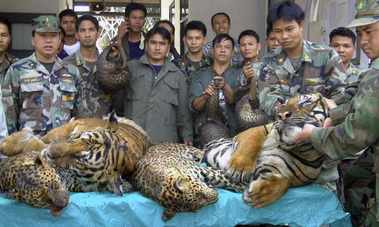 Recovered tigers, leopards etc.