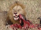 Lion daily meat intake