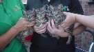 Litter of tabby kittens thrown at moving train