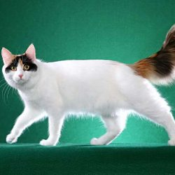Turkish Van - most aggressive cat breed?