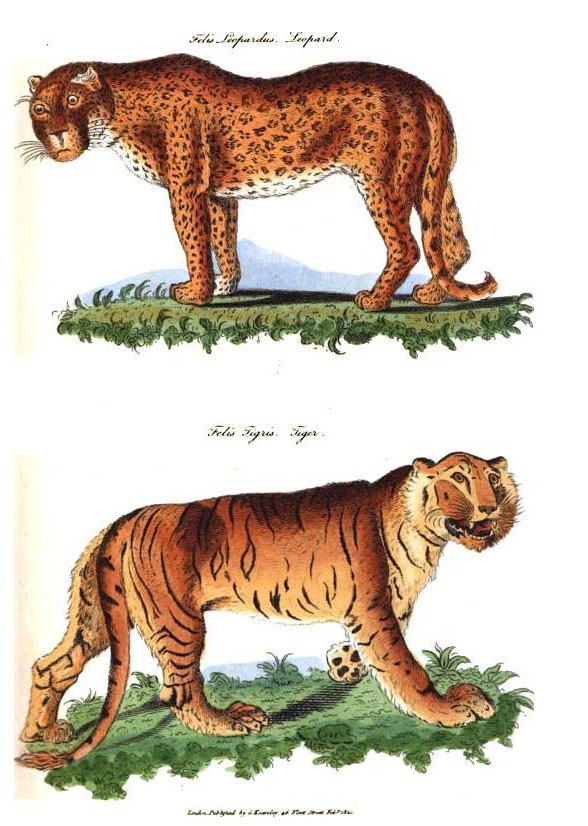 Anthropomorphised wild cats - early 1800s
