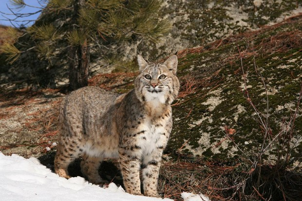 The beautiful bobcat. How anyone can hunt this cat is beyond my comprehension.