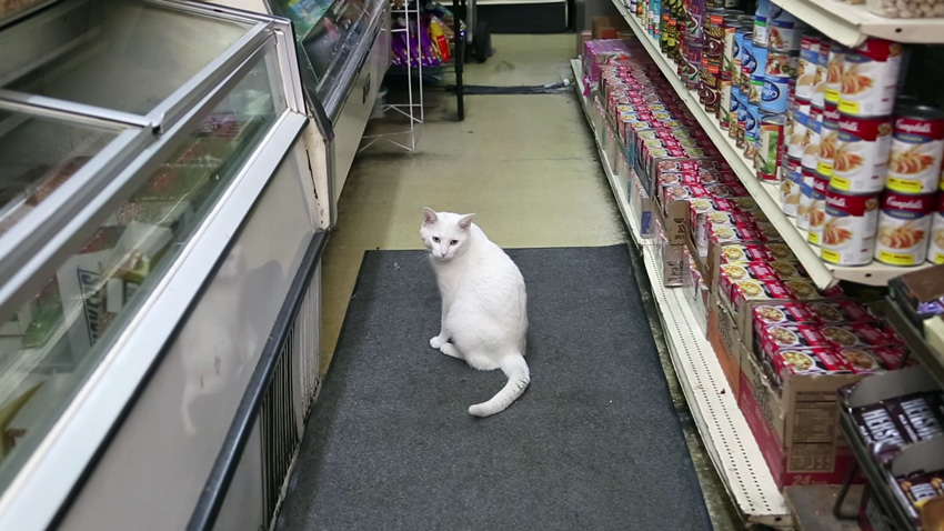 "Bodega cat ""Snowball"""