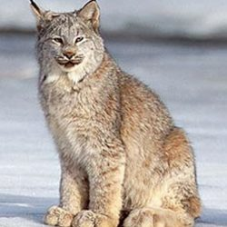Canada lynx feet