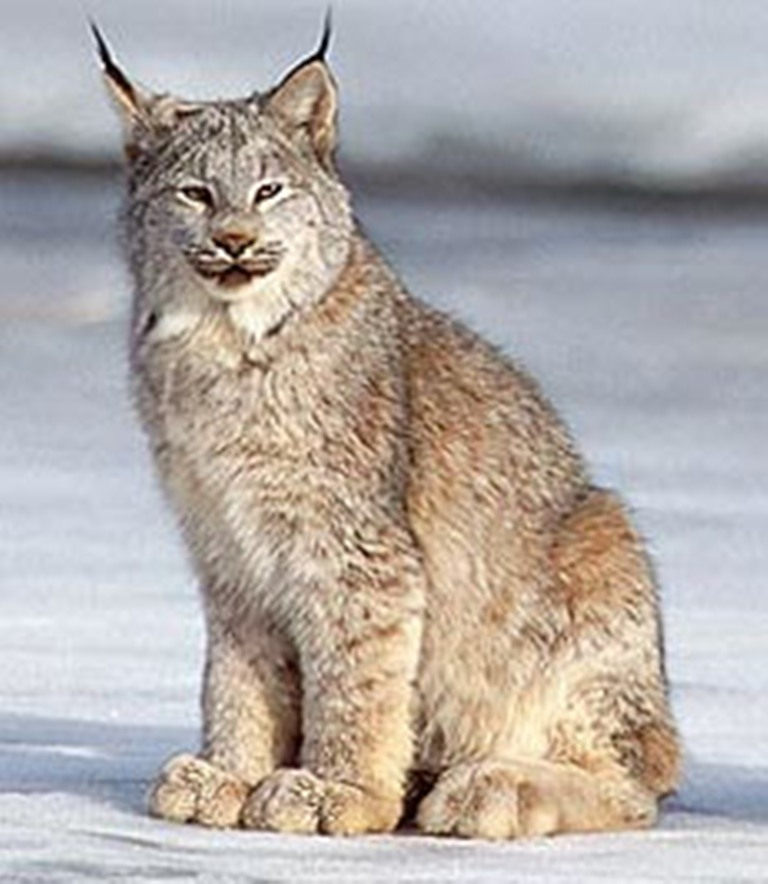 how to find a lynx