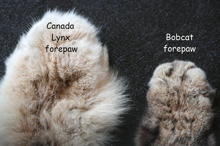 Lynx versus bobcat paws