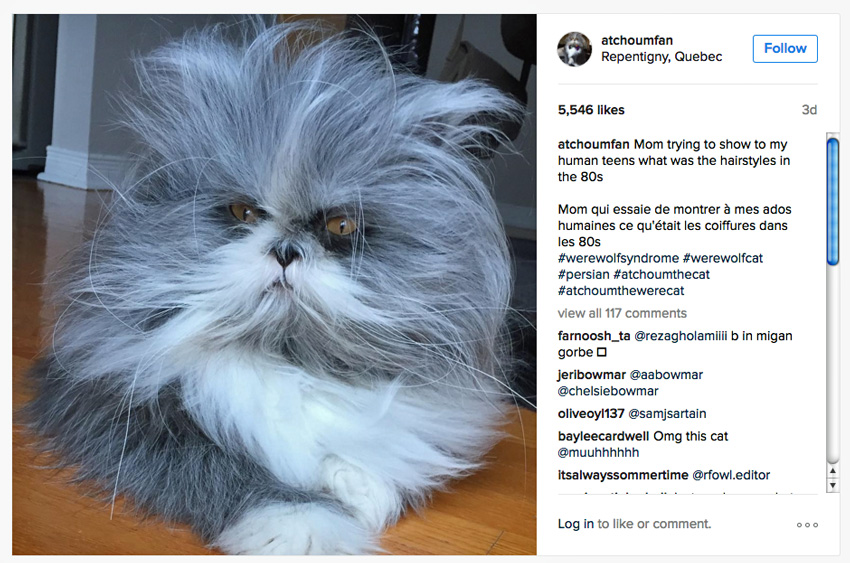Persian cat with lots of hair looking like a dog