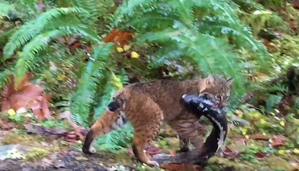bobcat caught salmon from stream