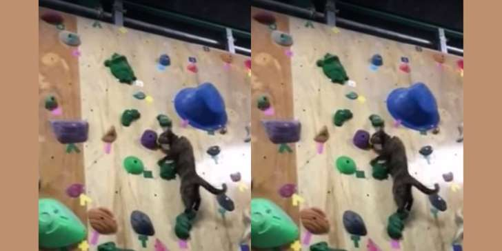 Cat climbing up a climbing wall