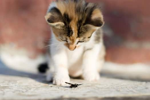 Young cat fascinated by insect. Photo in public domain.