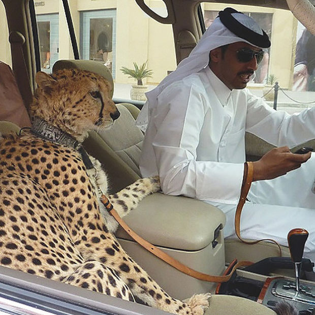 Cheetah in car in Dubai