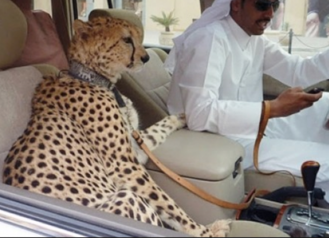 Cheetah in UAE (probably Dubai)