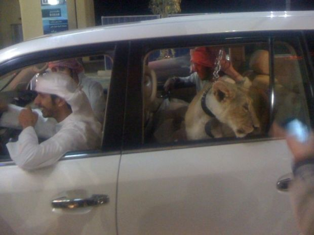 Lion in car in Dubai