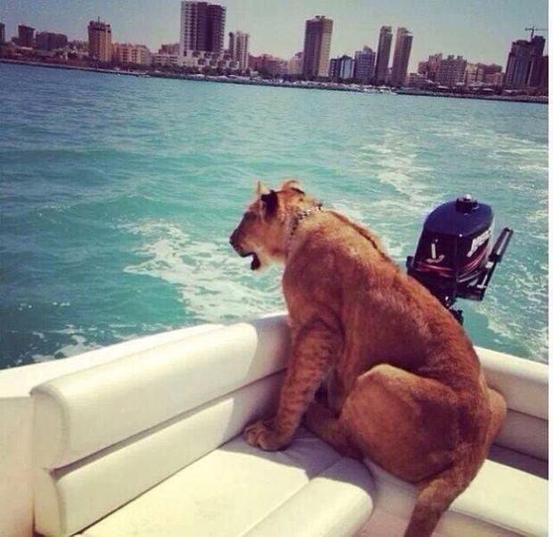 Lion on boat in Dubai