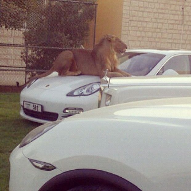 Lion on car in Dubai