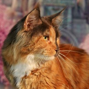 Mezzomixx, a rare Maine Coon cat