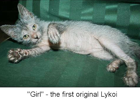 Founding female Lykoi cat