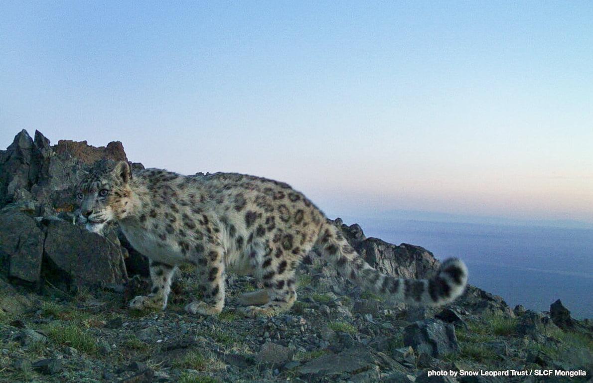 Snow leopard Gobi Gurvan Saikhan NP Mongolia