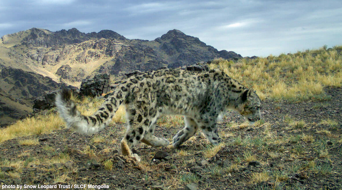 Snow leopard Tost Nature Reserve Mongolia