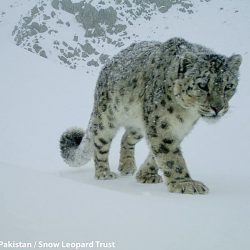 Snow leopard Central Karakoram NP Pakistan