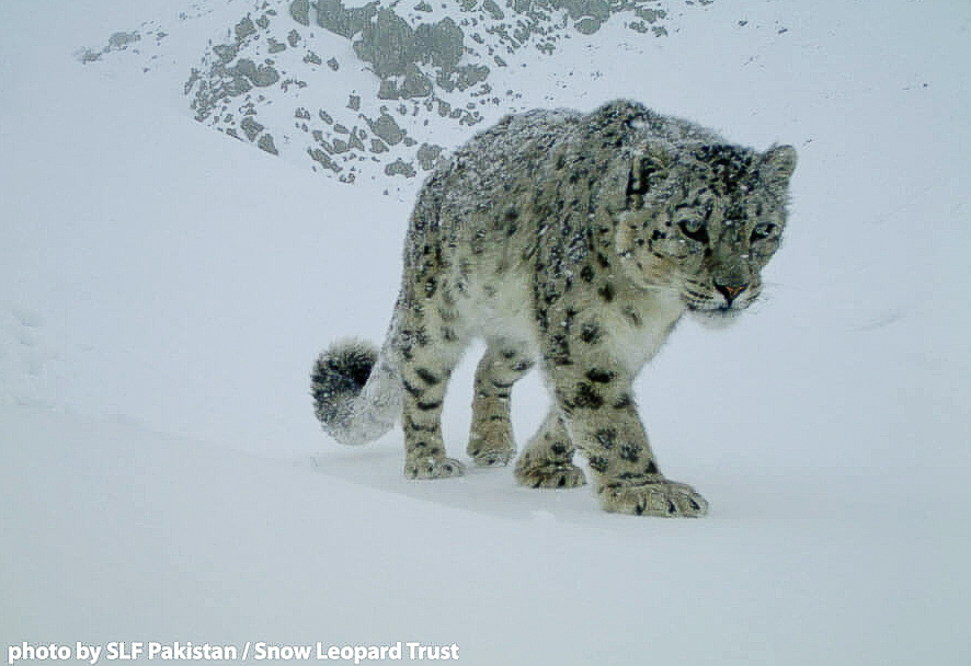 Snow leopard Central Karakoram NP Pakistan