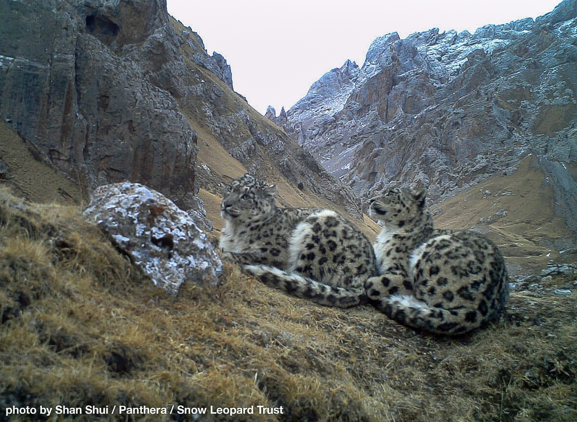Snow leopard Qinghai China