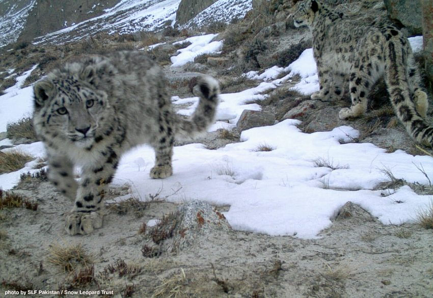 Snow leopard Central Karakoram NP, Pakistan
