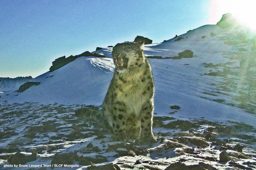 Snow leopard Tost Nature Reserve Mongolia