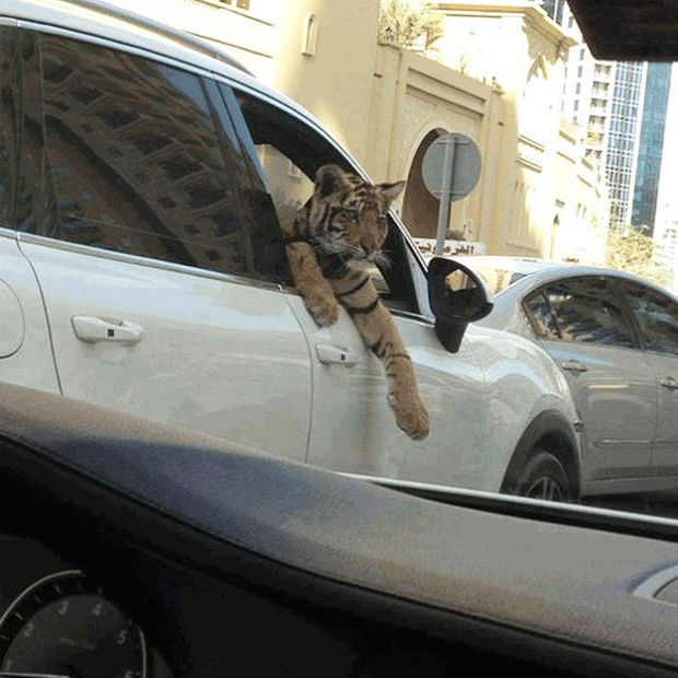 Tiger in car in Dubai