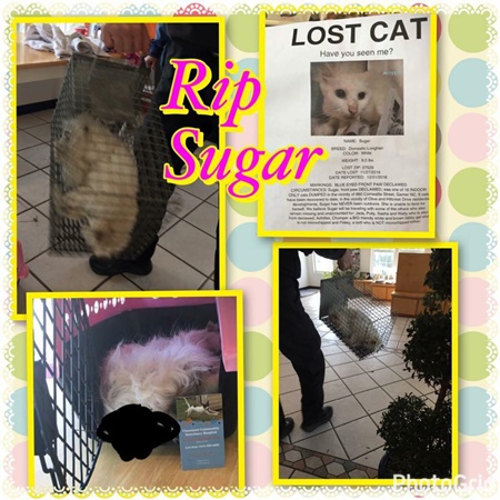 rest in peace Sugar a rescue cat who died after being abandoned
