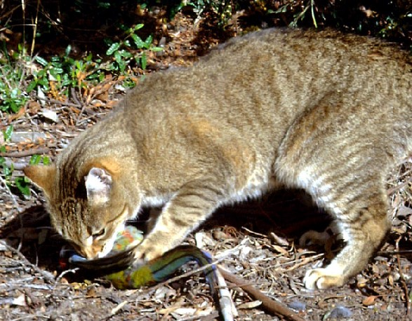 Australian cat hunting