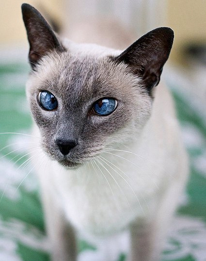 Siamese cat cross-eyed