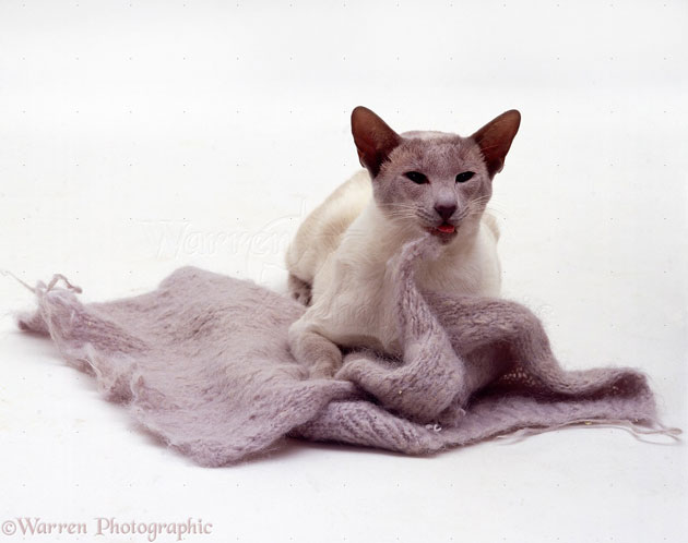 Lilac Siamese eating wool