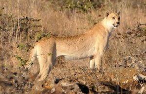 White cheetah?