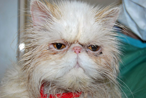 Penelope- inbred Persian dumped at cat shelter