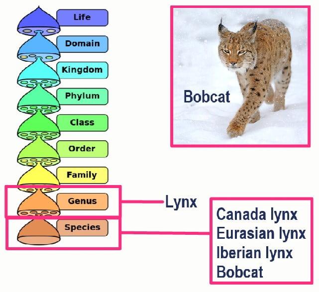 The bobcat is a lynx