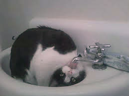Cat getting water