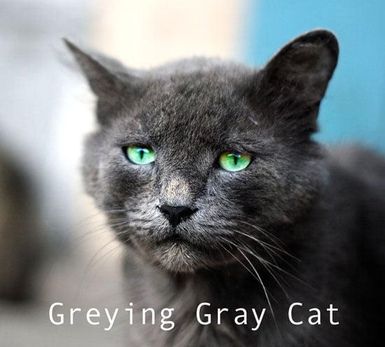 Greying gray cat